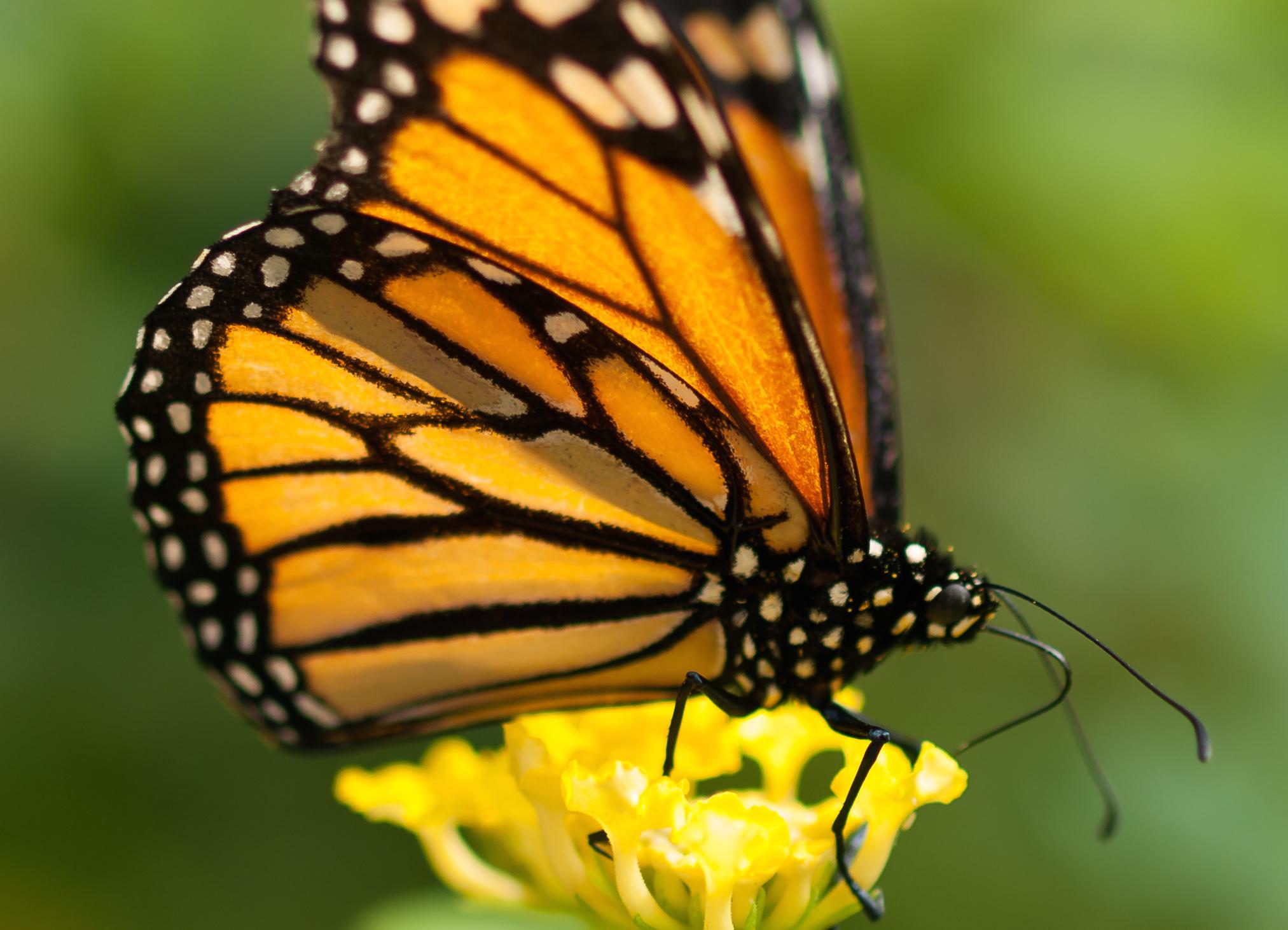 Monarch Butterflies Rebounding California Academy Of
