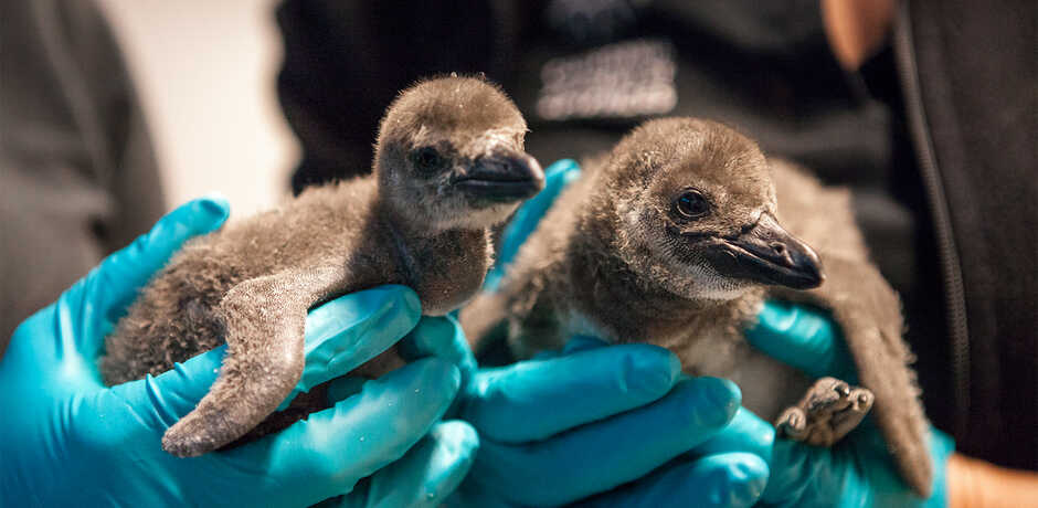 An Academy biologist holds two fuzzy newborn African penguin chicks