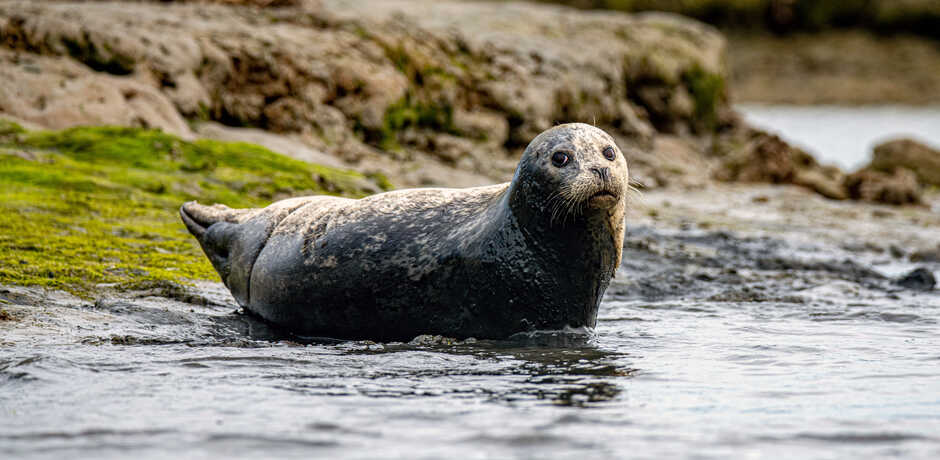 Harbor seal lounging on the shore at Elkhorn Slough
