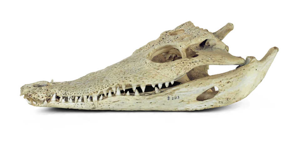 A 3D visualization of an American crocodile skull