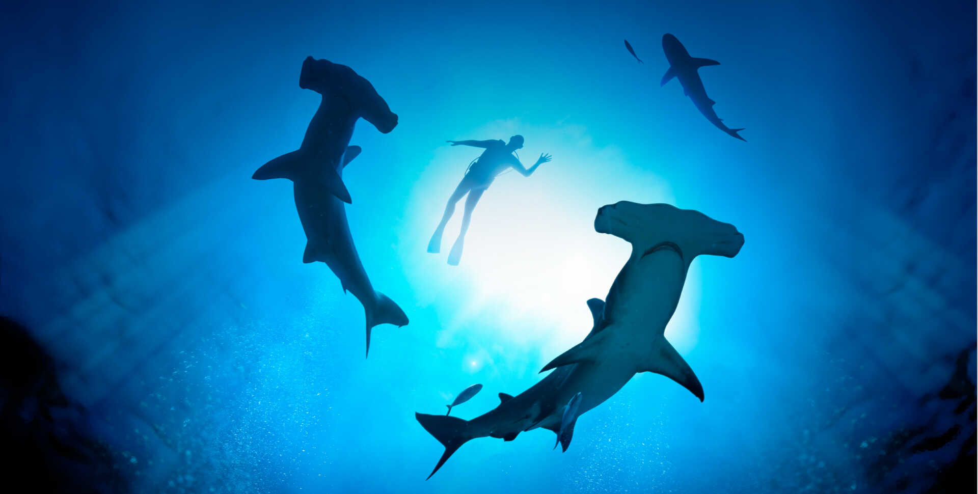 Underwater view from below of hammerhead sharks and a human swimmer