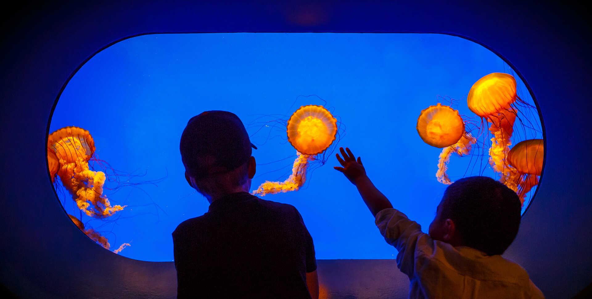 Beautiful sea nettle jellyfish exhibit glows orange as two boys stare in wonder