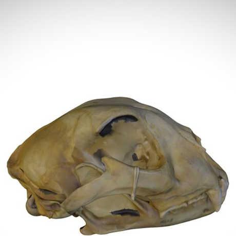 cheetah skull