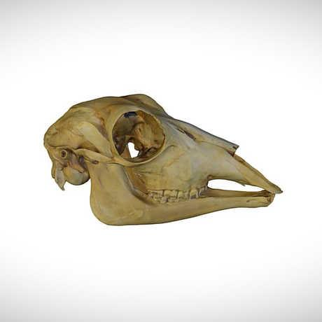 reedbuck skull