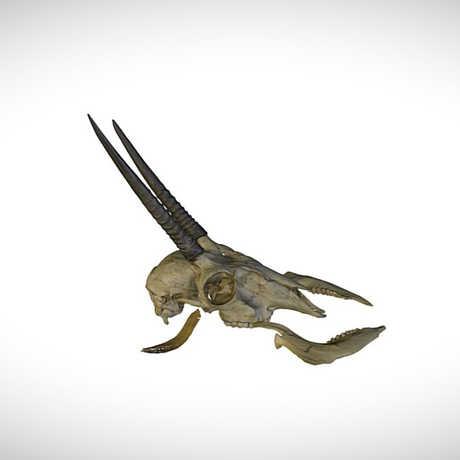 oribi skull