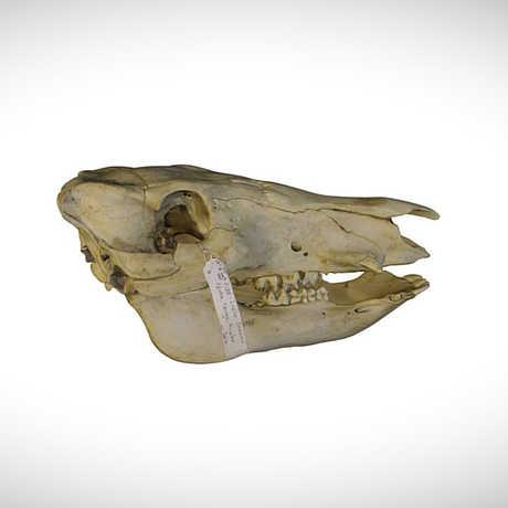 giant forest hog skull