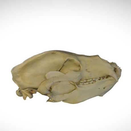 sloth bear skull