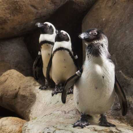 Three African Penguins