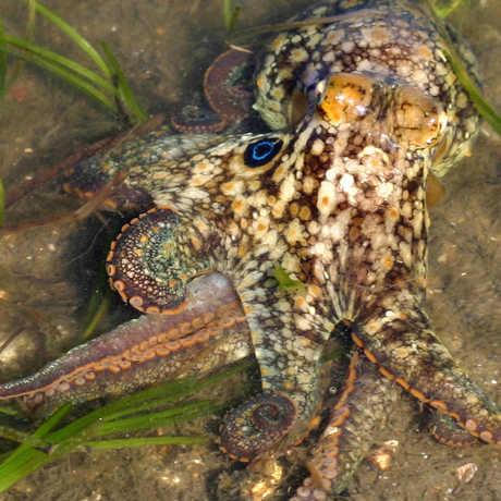 The California two-spot octopus