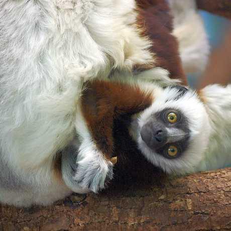 Baby lemur - MTSOfan/Flickr