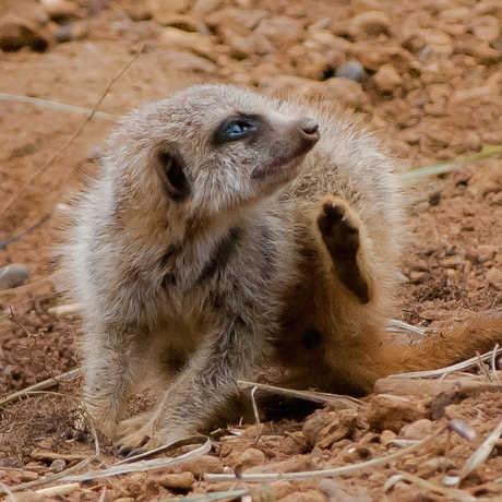 Meerkat itch, Steve Babb/Flickr