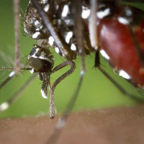 Closeup of the Aedes albopictus species