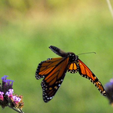 Monarch in flight