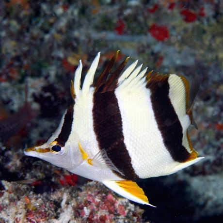 New butterflyfish species, Greg McFall/NOAA
