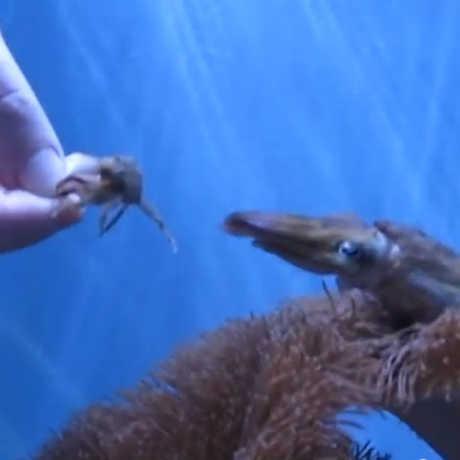 Cuttlefish stalking crab