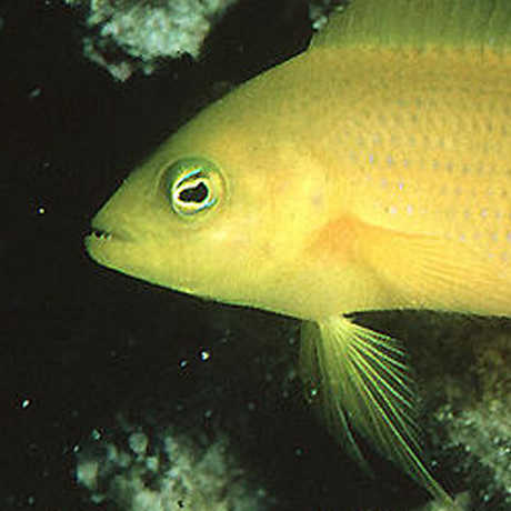 Photo of dottyback