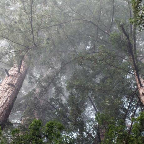 Fog in the Redwoods, Nate McBean/Flickr