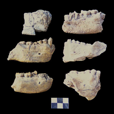 Mandibles found at the Dikika site