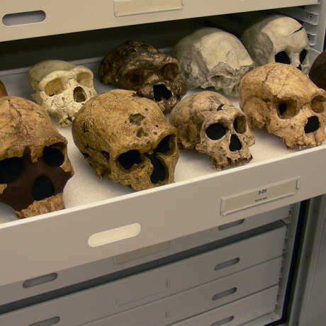 Hominin Cast Collection