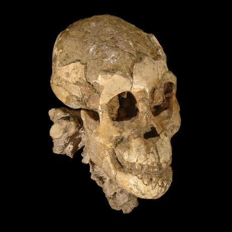 Selam cranium (Australopithecus afarensis)