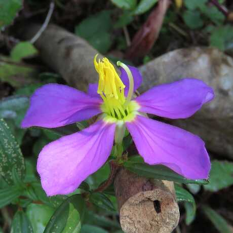 Osbeckia octandra near Kitulgala Rest House, Sri Lanka