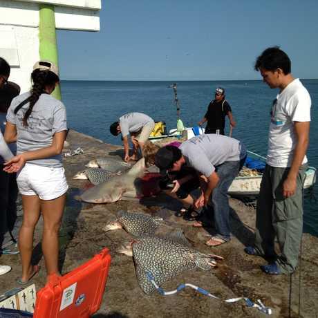 shark and ray fisheries image