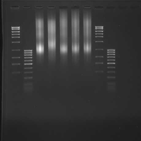 sheared DNA gel image