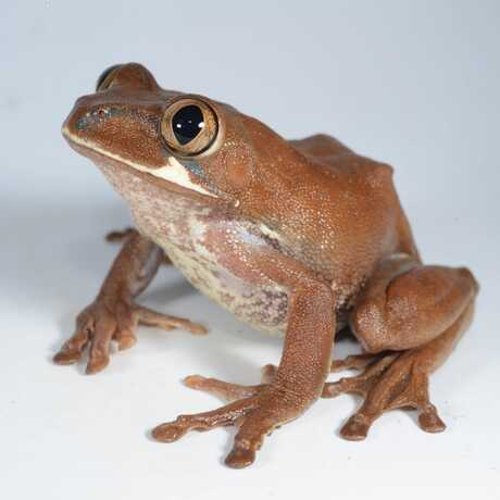 A big-eyed tree frog of the genus Leptopelis, from Cameroon.