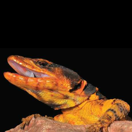 Pseudocordylus melanotus (Smith 1838)