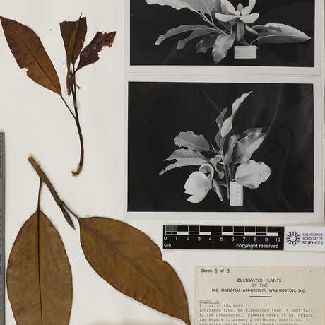 A magnolia herbarium specimen