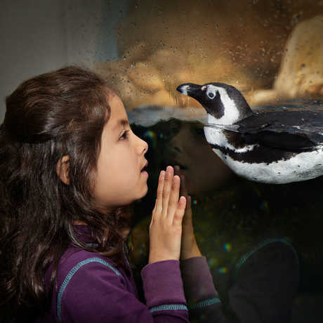 A girl comes face to face with an African Penguin