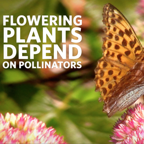 Flowering plants depend on pollinators