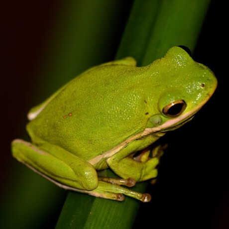 American Tree Frog