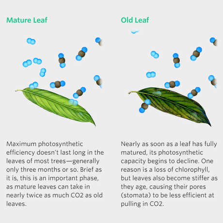 Old vs Mature Leaves; bioGraphic illustration by Jane Kim