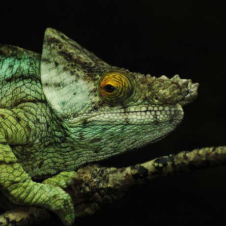 Chameleon_JasonWells