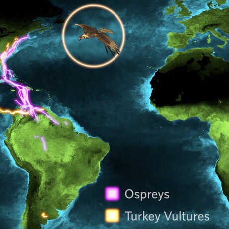 Osprey and turkey vulture migration paths