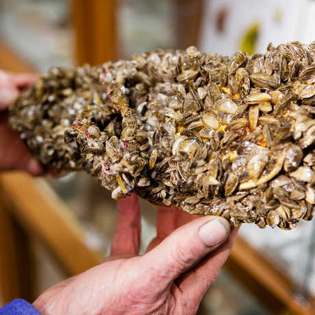 Invasive zebra mussels