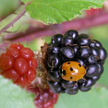 Bug on a berry