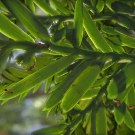 Ants on a redwood leaf