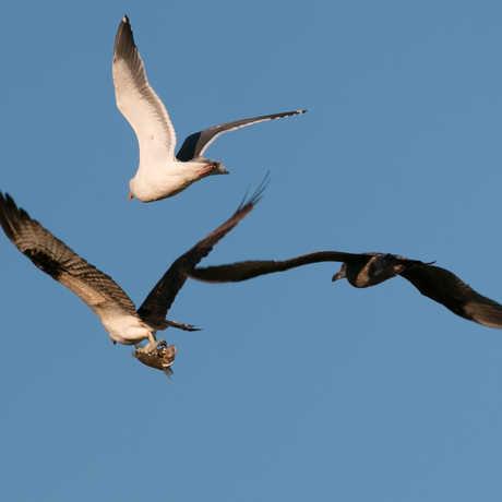 Osprey with gulls