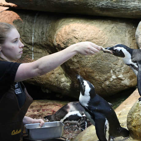 Biologist Amy feeding penguins
