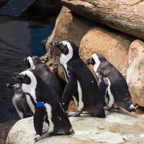 african penguins in their exhibit