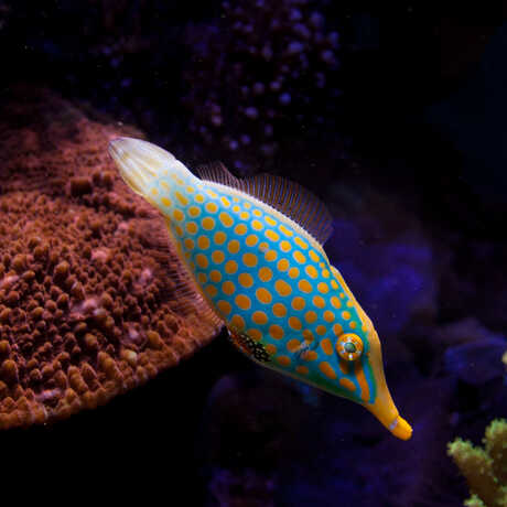 A brightly spotted file fish swims through deep-blue waters.