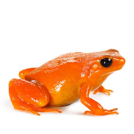 Closeup of a Golden Mantella, a brightly colored orange frog.
