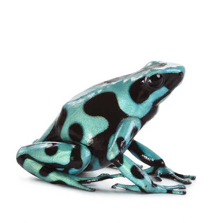 Closeup of a blue and black frog.