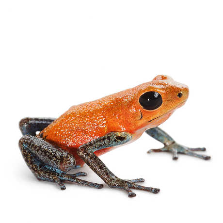Closeup of an orange and grey frog.
