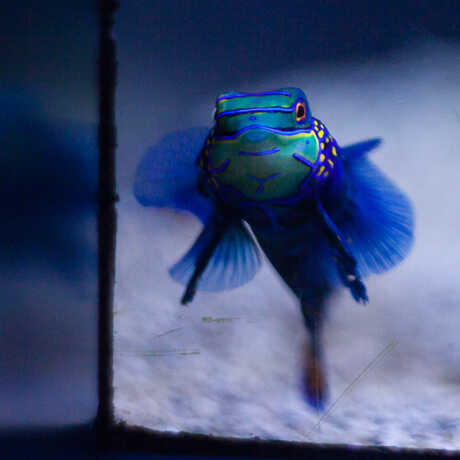 A Mandarin Dragonet in the Steinhart Aquarium