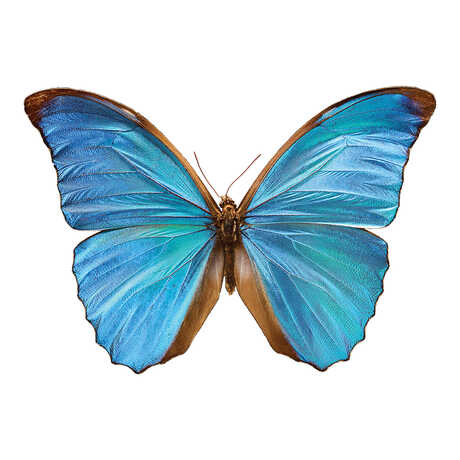 Blue morpho butterfly with wings outstretched
