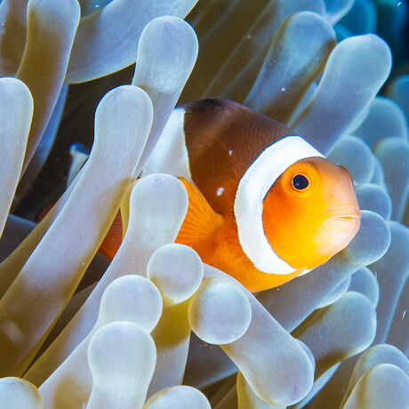 A clownfish peeks out from the tentacles of an anemone
