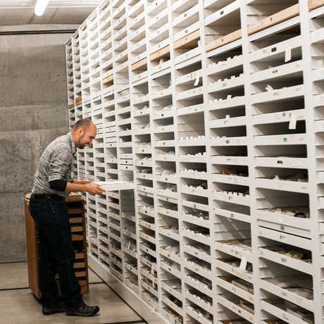 A collections voluteer looking at specimens.